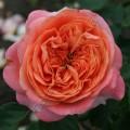 Фото розы Albrecht Durer. Альбрехт Дюрер