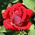 фото сорт розы Xcite. Икссайт