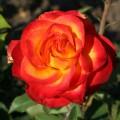 фото розы сорта High Society. Хай Сосайети