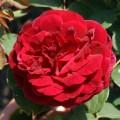 фото розы The Prince. Принц