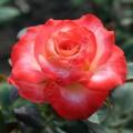 фото сорт розы Blush. Блаш