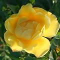 Фото розы сорта Dukat. Дукат