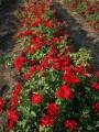 фото розы сорта CentrO-Rose. Центро-Розе
