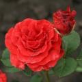 Фото розы El Toro. Эль Торо