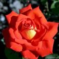 фото розы Фото саженцы розы Emil Nolde. Эмиль Нольде