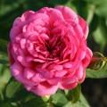Фото розы Pink Piano. Пинк Пиано