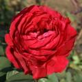 фото розы сорта Rose des 4 Vents. Ля Роз де Катрэ Вен