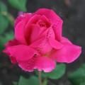 Фото розы сорта Duftrausch. Дуфтрауш