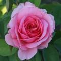 Фото розы Jardins de Villandry. Жардин де Вилландри