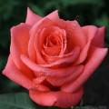 Фото чайно-гибридной розы сорта Муви Стар Movie Star