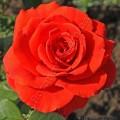 фото чайно-гибридной розы сорта Стар 2000, Star 2000