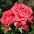 Фото розы Shogun. Шогун