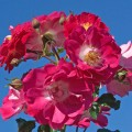Фото розы Perennial Blue. Перенниал Блю