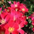 Саженцы роз Purple Haze. Перпл Хэйз