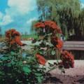 фото роз Orange Triumph, Ориндж Триумф