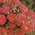 фото роз Rote Teschendorff, Роте Тешендорф