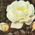 фото роз La Paloma, Ла Палома.