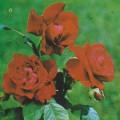 фото розы Rosa Schewtscenko. Роза Шевченко