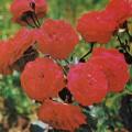 фото роз Rosemary Rose, Розмари Роз.