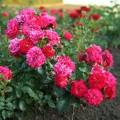 Фото розы сорта Hello. Хеллоу