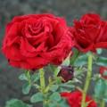 Фото розы Prestige. Престиж