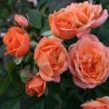 фото розы Apricot Clementine. Априкот Клементина