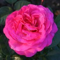 фото роз Chartreuse de Parme. Шартрез де Парм