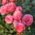 фото роз Pomponella. Помпонелла