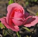 Фото розы Lavinia. Lawinia. Лавиния