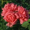 фото плетистой розы сорта Розанна Rosanna
