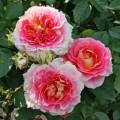 фото сорта розы Cesar. Цезарь