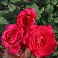 фото розы сорта Johann Wolfgang von Goethe Rose. Иоганн Вольфганг фон Гете