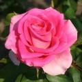 Фото розы Ravel. Равель