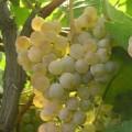 фото винограда сорта Загрей.