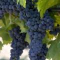 фото винограда Марсельский чёрный ранний.