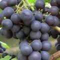 фото винограда сорта ВВ-3