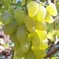 фото винограда сорта Бажена.