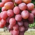 фото винограда сорта Рубиновый Юбилей.