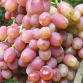 фото винограда Находка.
