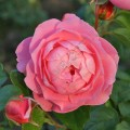фото розы сорта Strawberry Hill. Страуберри Хилл