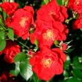 фото сорта розы Paprika 2011 (RT06196). Паприка 2011