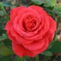 фото розы сорта Duftwolke. Дуфтвольке