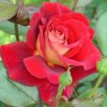 фото розы сорта Kleopatra. Клеопатра