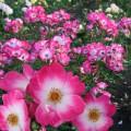 фото розы сорта Bukavu. Букаву