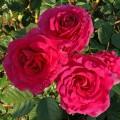 фото розы Botero. Ботеро