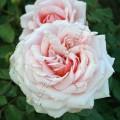 фото розы Barbados. Барбадос
