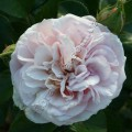 фото розы сорта Herkules. Геркулес
