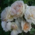 фото розы сорта Cream Abundance. Крем Эбанденс