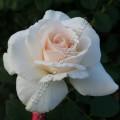 фото роз Helena Renaissance. Хелена Ренессанс