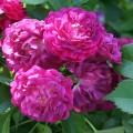 фото розы Bleu Magenta. Блю Маджента